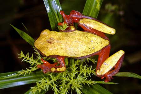 triangulum: Clown treefrog (Dendropsophus triangulum) in the Ecuadorian Amazon Stock Photo