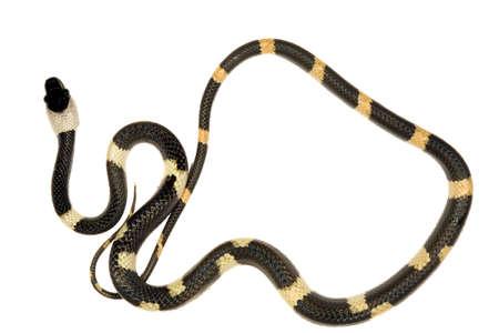 colubridae: Banded calico snake (Oxyrhopus petola) from the Ecuadorian Amazon
