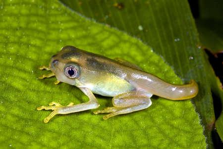 metamorfosis: Anfibios metamorfosis - Tadpole cambiante en una rana