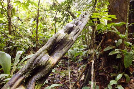 Tangle of lianas in the Peruvian Amazon photo