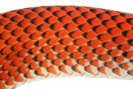 colubridae: Scales of the yellow headed calico snake (Oxyrhopus formosus) from the Peruvian Amazon