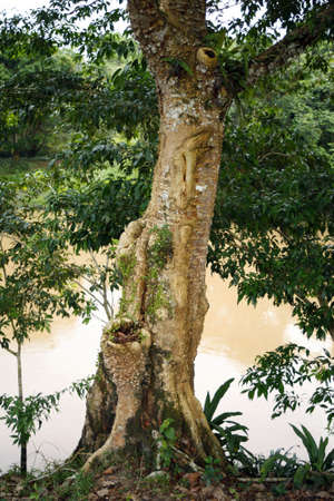 Amazonian tree with excrescences on the bark resembling a face or humanoid figure