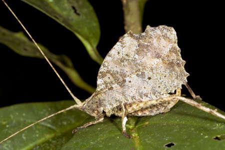 mimic: Leaf mimic katydid from the Ecuadorian Amazon