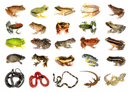 dart frog: Collection of Reptiles and Amphibians from the Amazon Rainforest