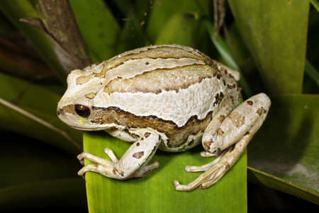 marsupial: Marsupial frog (Gastrotheca riobambae) female with full pouch