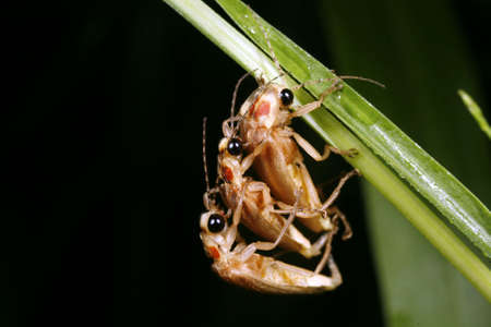 Two males mating with one female firefly