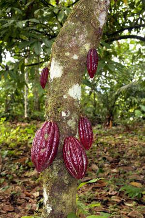 Cocoa pods  Stock Photo - 5017753