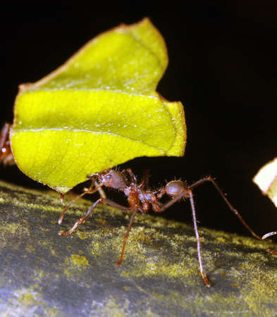 leaf cutter: Leaf cutter ant Stock Photo
