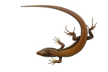 montane: Andean lizard (Pholidobolus montium)