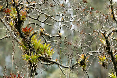 montane: Bromeliads on a branch Stock Photo