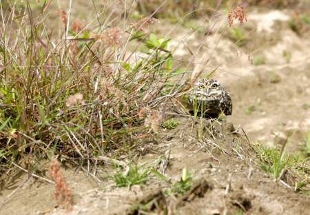 burrowing: Burrowing owl Athene cunicularia Stock Photo