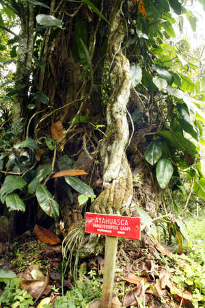divining: Hallucinogenic vine - Ayahuasca (Banisopteris caapi)
