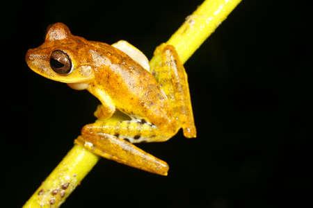 treefrog: Spotted-thighed treefrog (Hypsiboas fasciatus)