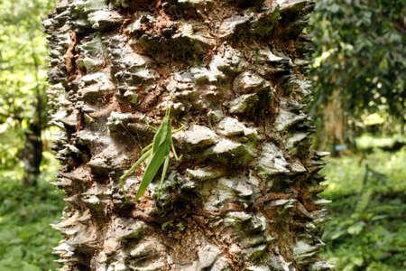 spiny: Spiny tree trunk in the ECuadorian Amazon