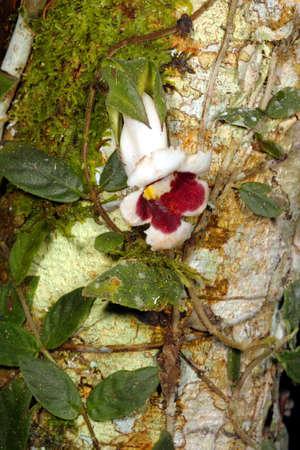 scrambling: Pianta rampicante, la famiglia GESNERIACEAE, su un tronco d'albero in Amazzonia ecuadoriana