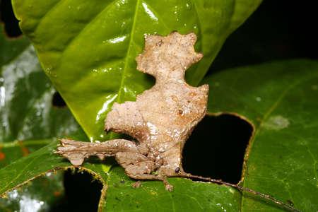 mimic: Leaf mimic katydid