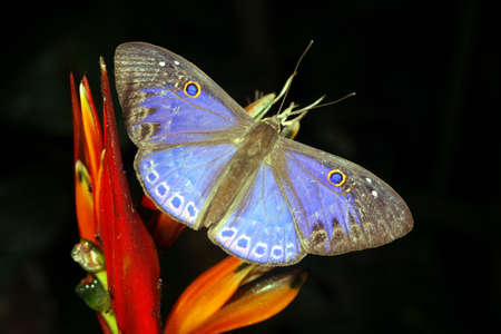 eyespot: Blue Riodinid butterfly in the rainforest understory