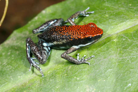 Ruby poison frog (Ameerega parvula) photo