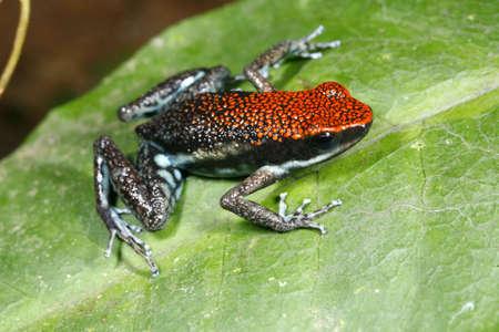 poison frog: Ruby veleno rana (Ameerega parvula)
