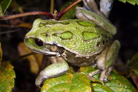 montane: Marsupial frog (Gastrotheca riobambae) Stock Photo