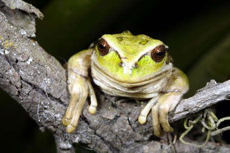 treefrog: Marsupial frog (Gastrotheca riobambae) Stock Photo