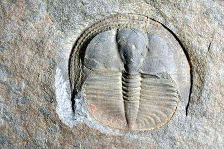 fossilized: fossil trilobite