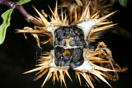 castor: Castor oil plant (Ricinus communis) seed pod Stock Photo