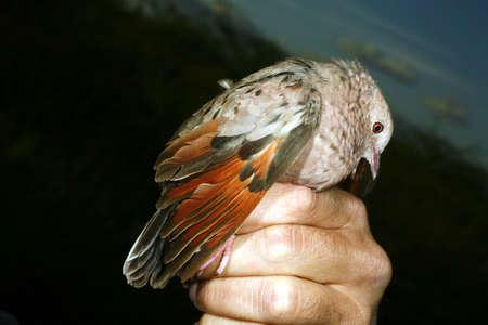 montane: Common ground dove (Colombina passerina)