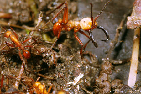 Army ant soldier guarding a trail of workers photo