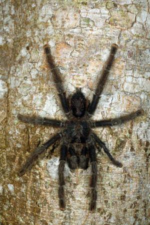 Tarantula on a tree trunk in the Peruvian Amazon photo