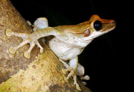 treefrog: Yasuni broad-headed treefrog (Osteocephalus yasuni) preparing to leap Stock Photo