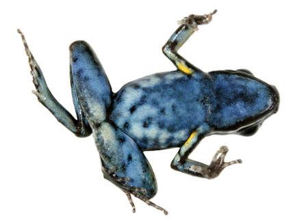 poison frog: Rana veleno macchiato zampe (Ameerega hahneli) sul dorso, simboleggiante il declino globale nella specie di anfibi