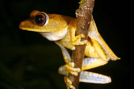 treefrog: Map treefrog (Hypsiboas geographicus)