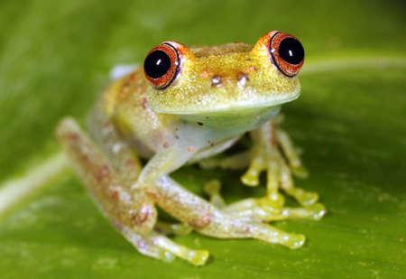 treefrog: Peeping rain frog (Pristimantis lachrimosus) in the Peruvian Amazon