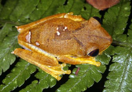 Map treefrog (Hypsiboas geographicus) photo