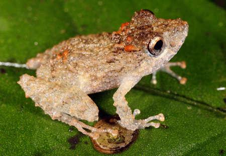 Long-nosed rain frog (Pristimantis carvolhoi) i the Peruvian Amazon photo