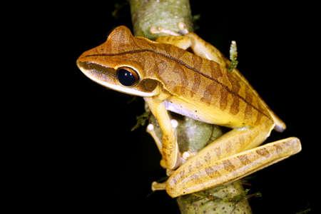 treefrog: Sharp nosed treefrog (Hypsiboas lanciformis) in the Peruvian Amazon