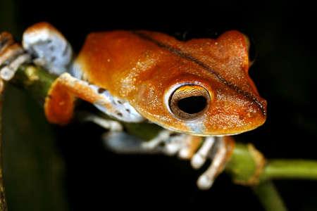 treefrog: Convict treefrog (Hypsiboas calcaratus) in the Peruvian Amazon
