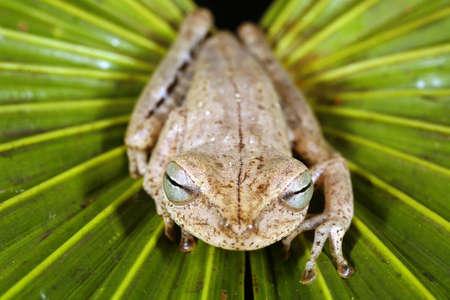 Spotted-thighed treefrog (Hypsiboas fasciatus) in the Peruvian Amazon photo