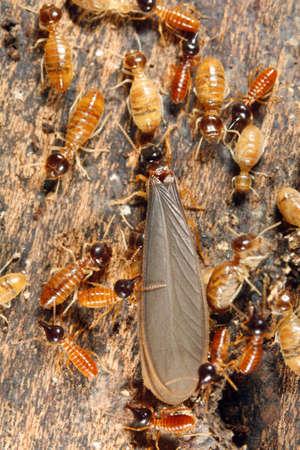 attended: Alas reproductiva termitas masculina en un nido asistieron a los trabajadores y nasutes  Foto de archivo