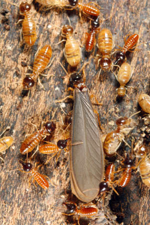 reproduction animal: Winged reproductive male termite in a nest attended by workers and nasutes