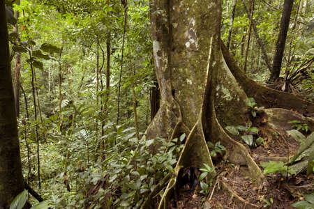 Tree with buttress roots in the Ecuadorian Amazon