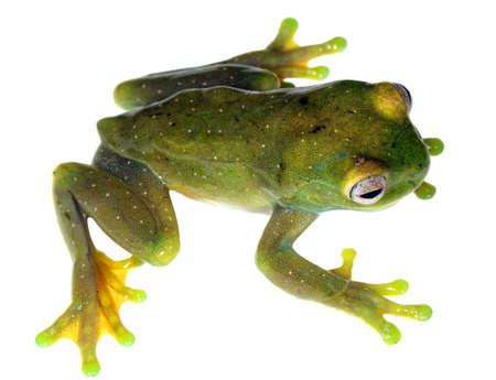 treefrog: Roque Treefrog (Hyloscirtus phyllognathus) from Ecuador Stock Photo