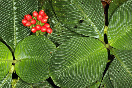 scrambling: Plant with textured leaves on the rainforest floor, Ecuador (Family Gesneriaceae) Stock Photo