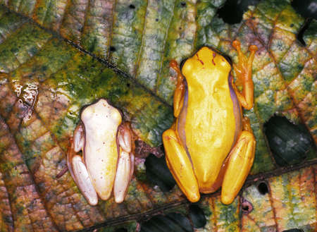 treefrog: Pair of Red-skirted Treefrogs (Dendropsophus rhodopeplus). Male left, female right. The female is much bigger than the male Stock Photo