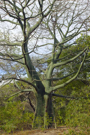 photosynthetic: Large Ceibo tree with green photosynthetic bark (Ceiba trichisandra, Bombacaceae). A large emergent species of tropical dry forest on the Pacific coast of Ecuador.