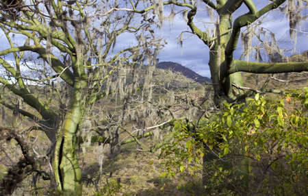 photosynthetic: Tropical dry forest on the Pacific coast of Ecuador with Ceibo trees (Ceiba trichisandra, Bombacaceae) hung with Spanish Moss (Tillandsia usneoides).