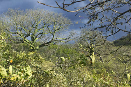 photosynthetic: Tropical dry forest on the Pacific coast of Ecuador with Ceibo trees (Ceiba trichisandra, Bombacaceae).