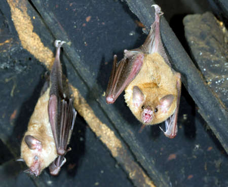 roost: Bats hanging in the roof of a house. A tropical species from Ecuador Stock Photo