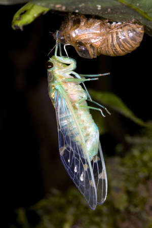 to metamorphose: Cicada changing its skin in the rainforest understory at night